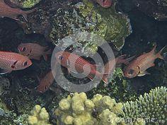 Красные рыбы плавая около красивейшего коралла.