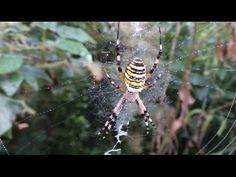 Spider Aggressive