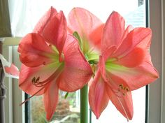 If you know how to care for an amaryllis, you can replenish your bulb after flowering and guide the amaryllis through additional growing seasons. Growing amaryllis indoors takes work, but this article will help.