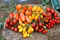 Когда сажать помидоры на рассаду в 2018 году, чтобы вырастить богатый урожай томатов