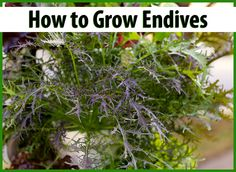 Learn how to grow your own endives! They're a great addition to any salad and adds tons of vitamins too! #GYO #Endives