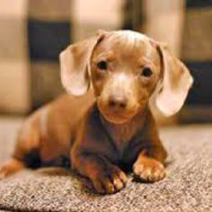 Is there anything cuter than a miniature dachshund puppy?!