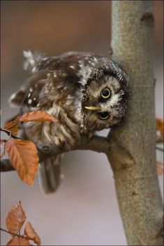 or, Saw Whet owl? Tengmalm's Owl by Milan Zygmunt Baby Owls, Baby Animals, Cute Animals, Wild Animals, Funny Animals, Owl Photos, Owl Pictures, Beautiful Owl, Animals Beautiful