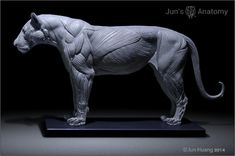 Lion Anatomy model 1/6th scale - flesh & superficial muscle – Jun's anatomy
