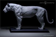 Lion Anatomy model 1/6th scale - flesh & superficial muscle – Jun's anatomy