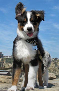 Australian Shepherd.. =) i will own one someday. it's going to happen!
