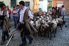 romaria das ovelhas. Folgosa da Madalena, Seia. Portugal. Transhumance