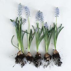 Spring Flowering Bulbs, Spring Bulbs, Spring Blooms, Spring Flowers, Pansies, Daffodils, Light Bulb Plant, Colored Light Bulbs, Garden Bulbs