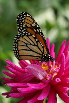 http://faaxaal.forumactif.com/t29-papillon-monarque-danaus-plexippus#11555