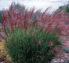 love the color of this ornamental grass