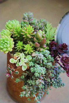 Succulents - Sedum 缶 寄せ植え