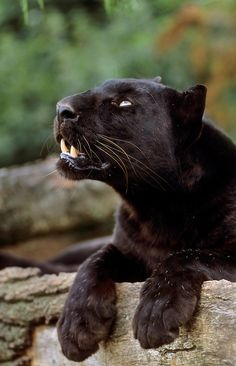 Black leopard (Panthera pardus), Africa, Asia, captive   Terry Whittaker Photography
