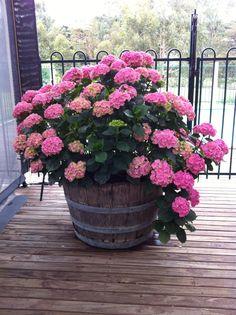 Colorful Hydrangeas for Your Balcony - Unique Balcony & Garden Decoration and Easy DIY Ideas Garden Yard Ideas, Balcony Garden, Garden Planters, Easy Garden, Container Flowers, Container Plants, Container Gardening, Beautiful Gardens, Beautiful Flowers