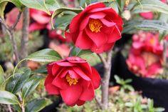 Camellia_Jamie Camellia, Shrubs, Nursery, Rose, Flowers, Plants, Pink, Baby Room, Shrub