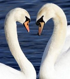 Swans heart<3 often times swans come together to make a natural heart shape with the curves of their necks & heads. This is so symbolic of true love because swans seek out one mate & remain monogamous for life. Swans are also very affection to their mate & show undying love regularly by rapping their necks around each other & staying close to their mate their entire life<3