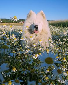 Things that make you go AWW! Like puppies, bunnies, babies, and so on. Cute Baby Animals, Animals And Pets, Funny Animals, Cute Dogs And Puppies, I Love Dogs, Doggies, Cute Dog Wallpaper, Sweet Dogs, Samoyed Dogs