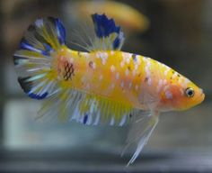 live-betta-fish-AWESOME-QUAD-COLORED-KOI-HMPK-MALE-YELLOW-PLATINUM-BLACK-BLUE