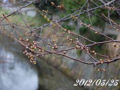 京都 哲学の道 桜 2012/03/23