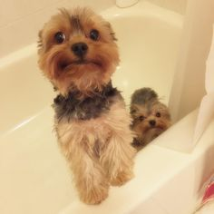 We don't need a bath mommy we're clean we promise!  #yorkie #dog #doglover #puppy #pets #instadogs #love #inlove #bath #bathtime #lol #thoseeyes #funny #follow #followme #like #cute #adorable #aww #wet #torture #fun #soflo #help #babies by lucas_and_keira