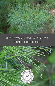 8 Terrific Ways to Use Pine Needles - by Herbal Academy                                                                                                                                                                                 More