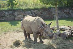 Rhinocéros - Août 2013