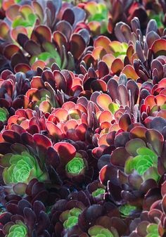 color palettes, succul rainbow, huntington gardens, aeonium