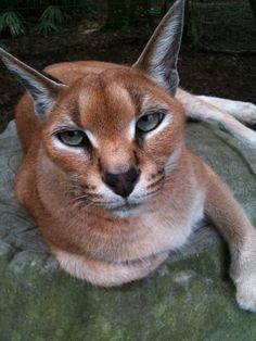 ROSE - Caracal. Big Cat Rescue, Tampa, Florida ... Isn't she beautiful?