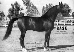 Bask, perhaps the most prolific Arabian stallion who ever lived.