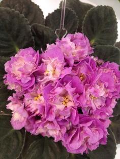 African violet.   @houseplantguru