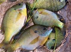 Top Bluegill Fishing Tips on the Net! Learn to Catch Bluegill Year-Round!