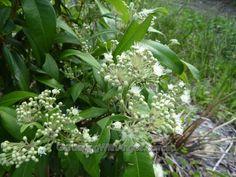 "Lemon myrtle"" use the leaves to make tea. Australian native plant."