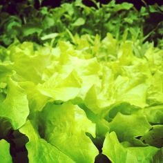 Ylituotanto on totta! Jos haluat salaattia ja rucolaa kipaise huudeilla. Ristinummi Järvenpää. #salaatti #rucola #futuremarja #hyväjäke #järvenpää