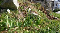 Iris cecebrinos en Vilar