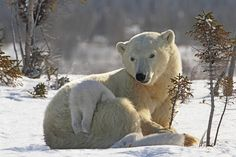 Mother polar bear playing with her cub in the snow in Wapusk National Park, Churchill, Manitoba, Canada | National Geographic Creative