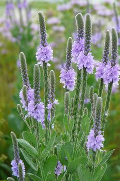 Hoary Vervain - Verbena stricta | Prairie Nursery | Native Plants