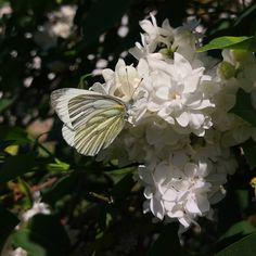 Papillon Aurore femelle #igersniort #igersdeuxsevres #igersfrance #garden #jardin #niort #papillon #butterfly #spring #aurorefemelle #lilasblanc #lilas  #etod79_79 #etod79_trees #etod79_spring #etod79_flower #etod79_garden #etod79_animals Papillon Butterfly, Insects, Album, Spring, Plants, Animals, Instagram, Sunrises, Female