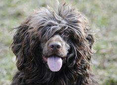 portugisisk vattenhund — Kennel Tres Anjos