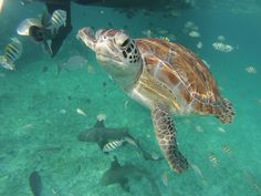 Sometimes we love this life to death. This little guy was a popular denizen of Mexico Rocks, a popular snorkeling site along the reef in Belize. Until a tour boat ran over him last month, a fatal error.
