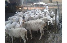 yıllardır bakımını yaptığım koyunlarım yalnızlıktan dolayı satılıktır 30 koyun 6-7 aylık kuzular satılı fotoğraflar günceldir