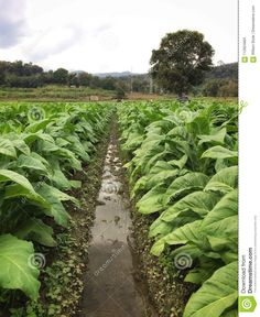 Photo about An image of a heavily irrigated tobacco field out side Chang Mai in Mae Win Thailand. Image of heavily, tobacco, thailand - 112824864 Thailand, Tropical, Stock Photos, Mountains, Image, Bergen