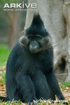 """Black-crested mangabey (Lophocebus aterrimus) - photo by Kevin Scharer, via Arkive;  This is a slender monkey with a tail longer than its body. It has a """"prominent pointed crest of hair on top of its head"""" and gray, outward-curving cheek whiskers."""