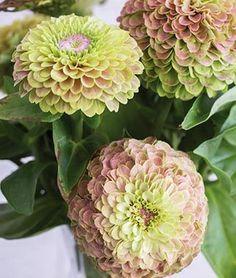 Zinnia, Queen Lime with Blush - Burpee Zinnia Garden, Cut Flower Garden, Garden Plants, Cut Garden, Garden Bed, Flower Gardening, Garden Front Of House, Flower Farmer, Annual Flowers
