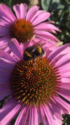 #bees #bumblebee #naturephoto #ecinacea #purple #purpleflower #coneflower #backyard