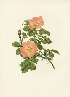 Ellen Willmott Genus Rosa 1914