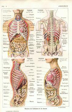 Human body organs activities tempat untuk dikunjungi pinterest anatomie du thorax et de labdomen ccuart Gallery