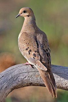 Tourterelle triste / The Mourning Dove / Zenaida macroura. Aire: De S.-E. De l'Alaska et du S. Du Canada au Panama. Référence: Les oiseaux du Québec et de l'Amérique du Nord. Peterson, Roger Tory. P. 196.