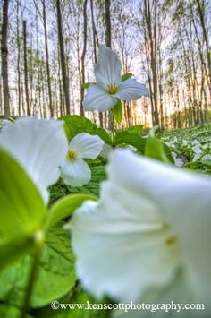 Trillium Flowers at Sunset - Such a Lovely Scene :)