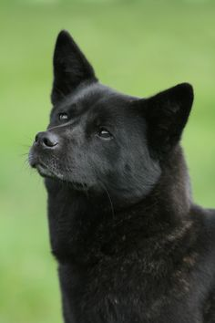 Mmmm, such a lovely face Breed: Kai Black beauty Japanese Dog Breeds, Japanese Spitz, Japanese Dogs, Cute Funny Animals, Funny Animal Pictures, Kai Ken, Greenland Dog, American Akita, Dangerous Dogs