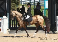 Akhal Teke Stallion at the Kentucky Horse Park Guest Breed Weekend 2013
