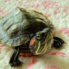 cute red eared slider turtle